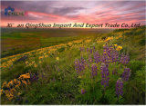 Порошок чая хризантем флавона 10:1 4:1 Tlc извлечения цветка используемый для лечить холод