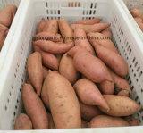 Frische süsse Kartoffel des orange/purpurroten Fleisches