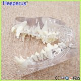 Enseñanza veterinaria del modelo de la quijada del diente de perro