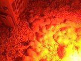 Lámpara de calor infrarrojo R40 /R125 Lámpara de infrarrojos de 250W