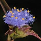 Estratto Ecdysterone beta Ecdysterone della pianta per il supplemento di erbe