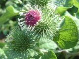 10%-40% выдержка корня Burdock Arctiin естественная для мыжского здоровья