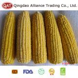 Épis congelés de bonne qualité de maïs pour l'exportation