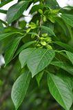 Экстракт коры, Eucommia Eucommia Ulmoides, Chlorogenic кислоты