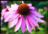 Напряжение питания на заводе Echinacea purpurea Extract порошок Эхинацея Polyphenols 4%