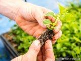Extrato da planta Stevia Açúcar para aditivo alimentar