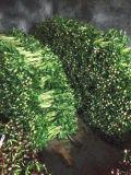 Pivoine fraîche de fleur coupée