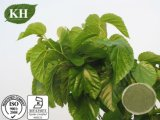 Extrato da folha do Mulberry, 2% 1-Deoxynojirimycin, HPLC