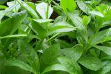 紫外線低い殺虫剤のPanaxの朝鮮人参の葉のエキスGinsenoside 80%