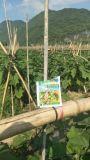 Unigrow Bio fertilizante orgánico en la berenjena
