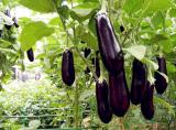 Fertilizzante della polvere dell'amminoacido 80% di Enzymolysis di sorgente della pianta