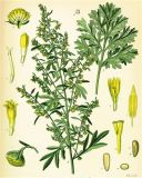 99% Artemisinin Sweet Absinto Herbl extraia