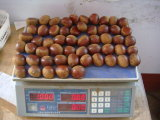 L'exportation Professional Europe Chinese chestnut frais
