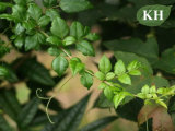 Extracto Dihydromyricetin/CAS No. del té de la vid de la pureza elevada: 27200-12-0