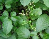 Auszug des Gynostemma Auszug-50%-98% Gypenosides Gynostemma Pentaphyllum