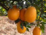 Gannan Navel-Orange