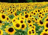 Fertilizzante organico 52% della polvere dell'amminoacido