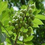 Estratto 40%-90% Sapindoside di Saponaria del Sapindus dell'estratto di Soapnut per le estetiche