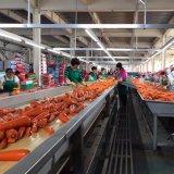 Свежая морковь, красная морковь, китайская морковь