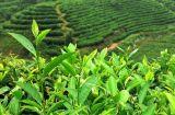 柔らかい飲む緑茶のエキスの茶Polyphenol/EGCG 50%-98%