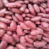Banheira de vender produtos frescos de qualidade Premium de cultura feijão vermelho pequeno