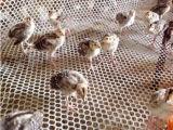 Cerca de la cría de aves de corral Plat Net que hace la máquina