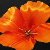 Peinture à l'huile de fleur (002)