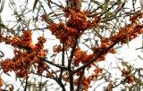 China proveedor para el buen aceite de semilla de Softgel Espino cerval de mar