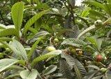 Rosaceae Plant Loquat Extração de Folha Ursolic Acid / Maslinic Acid / Corosolic Acid