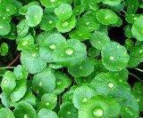 Centella Asiatica Extract com Triterpenes, Asiaticoside para alimentos e cosméticos
