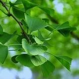 Het natuurlijke Uittreksel van Biloba van Ginkgo (, 24/6, Ginkgoic acid<10ppm/5ppm/1ppm)