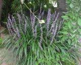 Китайской травяной медицине Ophiopogon Japonicus извлечения/Ophiopogon Japonicus порошок/Ophiopogon Japonicus