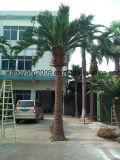 крытая искусственная серебряная пальма даты 4.5meters