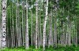 공장 공급 벌치나무 껍질 추출, Betulinic 산 472-15-1