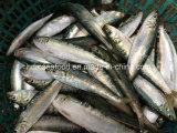 High Quality Frozen Seafood Fish Sardine for Bait (Sardinella aurita)