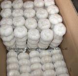 Свежий белый чеснок для ехпортировать с высокой хлебоуборкой