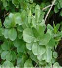 Оливковых листьев порошок извлечения