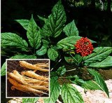 Ginseng Exrtract