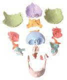 22 parti hanno colorato il cranio, modello del cranio di formato di Ife