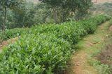 100% 음식과 보충교재를 위한 자연적인 홍차 추출