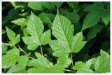 Polvere naturale dell'estratto dei fogli del cratego per gli alimenti ed il supplemento