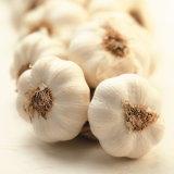 Pianta nuovo Cory dell'aglio e buona qualità