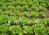Ácido Humic do fertilizante líquido e fertilizantes de NPK com Micronutrients