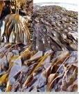 X-Humate 100% d'extrait d'algues marines biologiques solubles dans l'eau