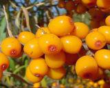 100% natürlich und Highquality Pure Sea Buckthorn Seed Oil