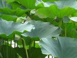 Nuciferine1%- 98%, polvere di perdita di peso della polvere dell'estratto del foglio del loto