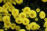 紫外線のピレトリンによる菊のMorifoliumのエキスのフラボン10% 50%