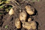 Ad dulces secos copos de patata para la alimentación y condimento