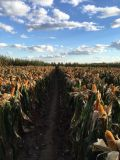 Bio- fertilizzante organico di Unigrow sulla piantatura organica del cereale