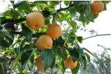 Poires de la Couronne/Huangguan pear/ asiatique poire Fruits d'or en provenance de Chine